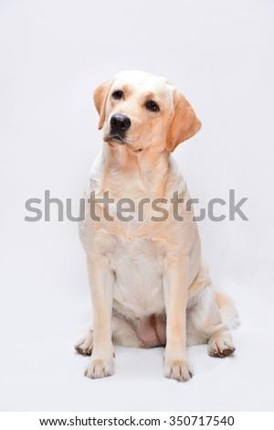 Portrait of the golden labrador dog - stock photo