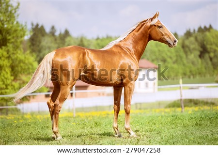 Portrait of the golden red horse - stock photo