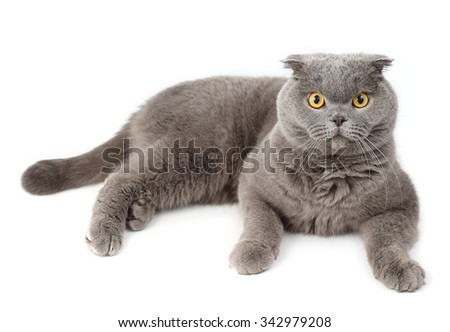 Portrait of the gray lying British Shorthair cat on a white background.