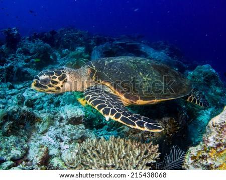 Portrait of the Hawksbill sea turtle (Eretmochelys imbricata) swimming close to the reef, Komodo, Indonesia. - stock photo