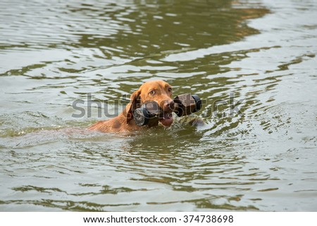 Portrait of the Hungarian hound while swimming in the water
