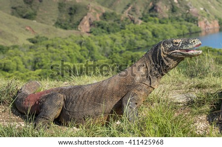 Portrait of the Komodo dragon ( Varanus komodoensis ). It is the biggest living lizard in the world.  On island Rinca. Indonesia. - stock photo