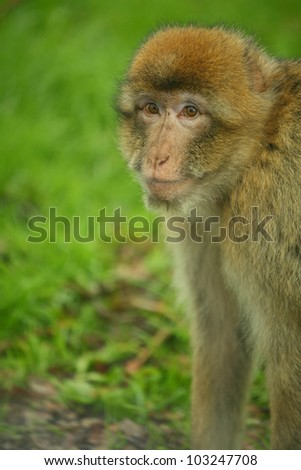 portrait of the monkey in safari park - stock photo