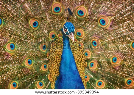 Portrait Of The Peacock During Courtship Display - stock photo