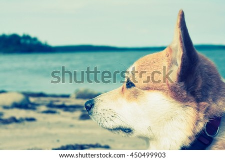 portrait of the Pembroke Welsh Corgi