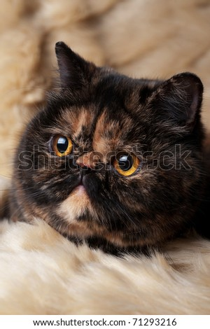 Portrait of the persian cat in turtle colors on beige background - stock photo