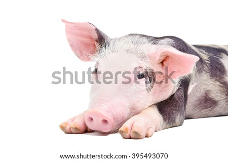 Portrait of the pig isolated on white background