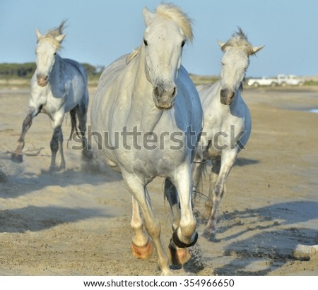 Portrait of the running White Camargue Horses on the beach. \ Herd of White Camargue Horses galloping along the beach in sunday light. Camargue, Provence, France - stock photo