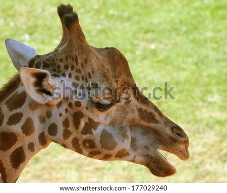 Portrait of the sad giraffe - stock photo