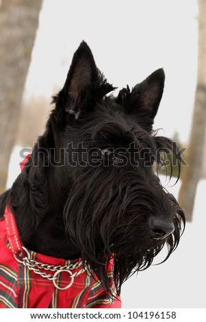 portrait of the scottish terrier dog in overalls in the scottish cell - stock photo