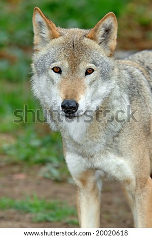 Portrait of the she-wolf on a background of a green grass - stock photo
