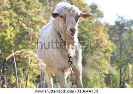 portrait of the sheep
