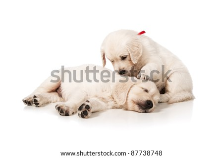 Portrait of the sleeping puppies golden retriever on a white background - stock photo