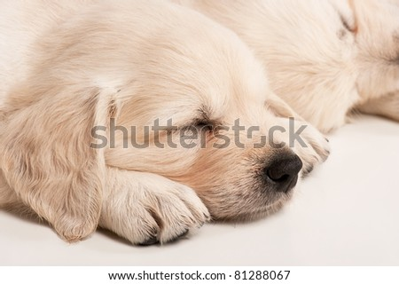 Portrait of the sleeping puppy golden retriever on a white background