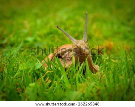 portrait of the snail looking out of the grass - stock photo