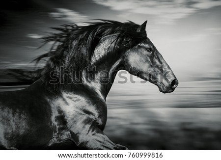 Portrait of the spanish running horse black and white photo