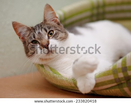 Portrait of the striped with white a cat.Striped with white a cat. Striped not purebred kitten. Small predator. Small cat. - stock photo