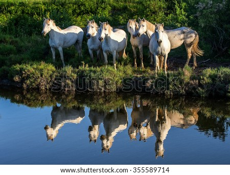 Portrait of the White Camargue Horses reflected in the water. France - stock photo