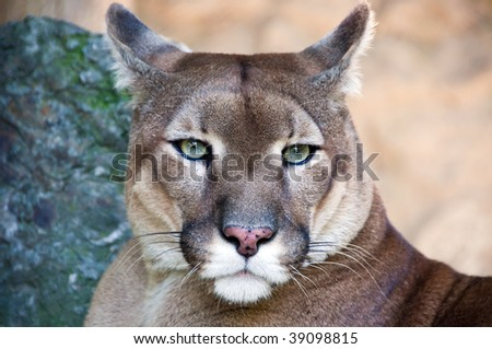 Portrait of the wild cat puma captured in the zoo.