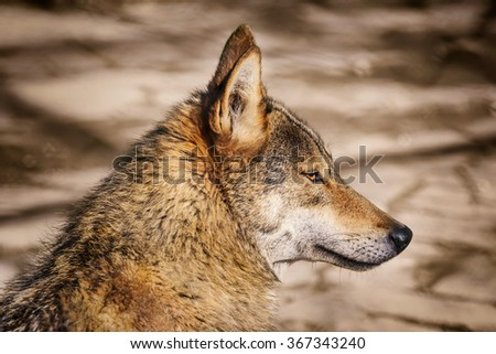 Portrait of the Wolf Looking Ahead - stock photo