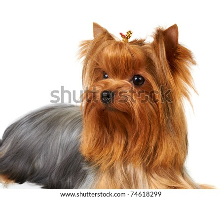 Portrait of the Yorkshire Terrier isolated on white