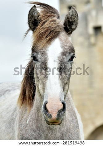 Portrait of the young White Camargue Horse in Parc Regional de Camargue - Provence, France, - stock photo