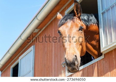 Portrait of thoroughbred chestnut horse in stable window. Multicolored summertime outdoors image. - stock photo