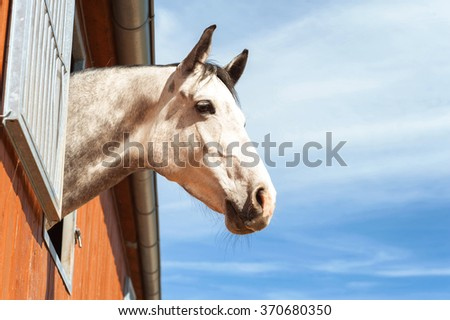 Portrait of thoroughbred gray horse in stable window on a blue sky background. Multicolored summertime outdoors image with filter. - stock photo