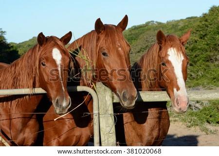 Portrait of three chestnut warmblood horses. - stock photo