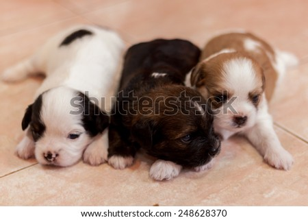 portrait of three cute tiny puppy