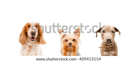 Portrait of three dogs together isolated on white background