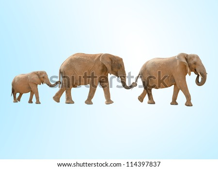 portrait of three elephants walking against a blue background