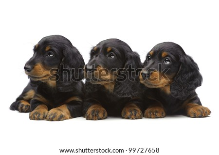 Portrait of three laying puppies of Dachshund on white - stock photo