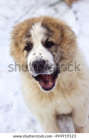 Portrait of three months puppy of Central Asian Shepherd (alabai)