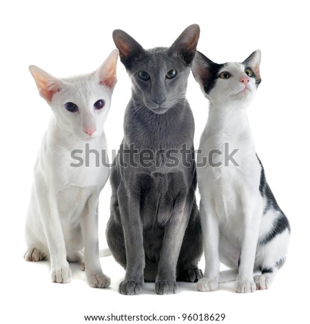 portrait of three oriental cats in front of white background - stock photo