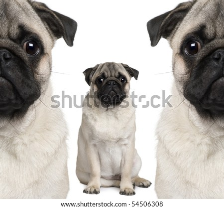 Portrait of three pug dogs sitting in front of white background - stock photo