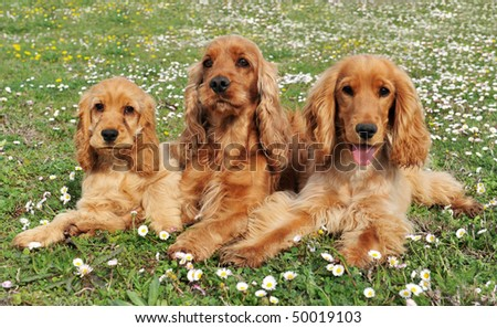 portrait of three purebred spaniel cocker in a field with flowers - stock photo