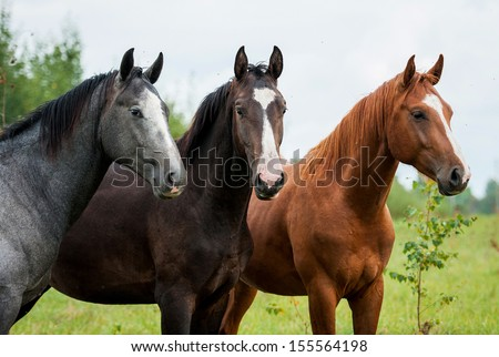 Portrait of three young stallions - stock photo