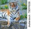 Portrait of tiger - stock photo