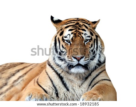 Portrait of tiger isolated on white background.