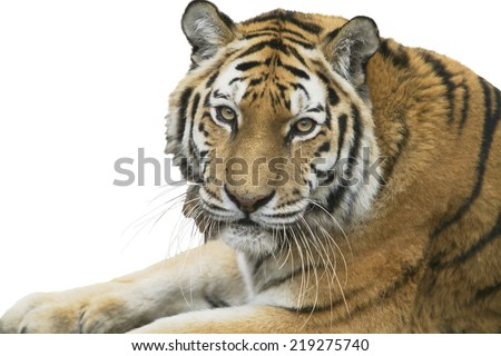 Portrait of tiger resting over white background