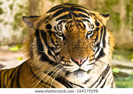Portrait of tiger -  7 year old male Royal Bengal Tiger