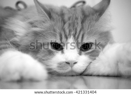 Portrait of Traditional Doll Face Persian Cat in Black White Laying Down - stock photo