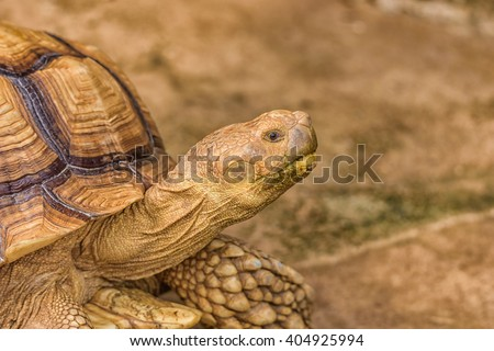 Portrait of turtle. Elongated Tortoise - Indotestudo elongata - stock photo