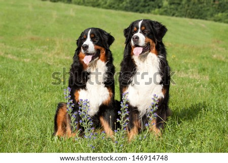 Portrait of two Bernese Mountain Dogs on meadow  - stock photo