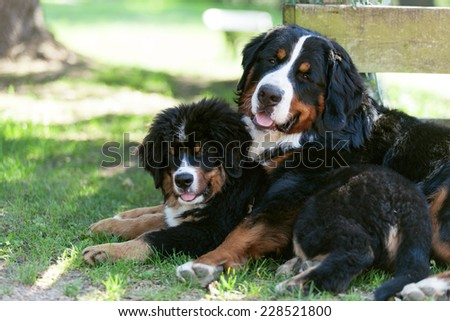 Portrait of two Bernese mountain dogs, outdoors - stock photo