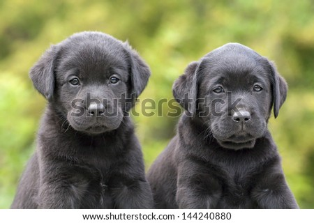 Portrait of two black Labrador Retriever puppies - stock photo
