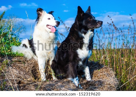 Portrait of two Boarder Collies