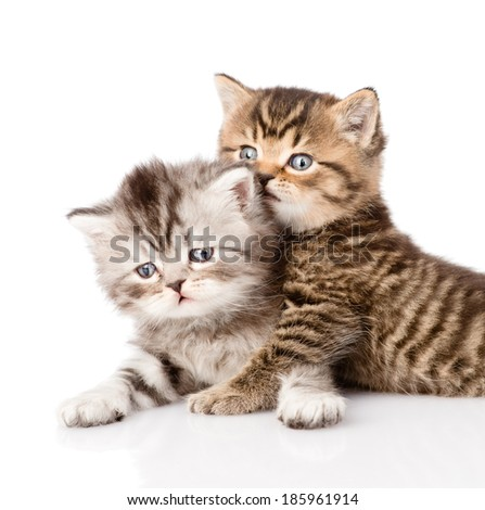 portrait of two british kittens. isolated on white background - stock photo
