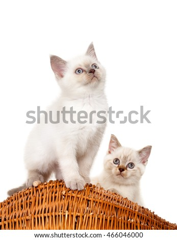 Portrait of two British Shorthair Kittens sitting, 8 weeks old,